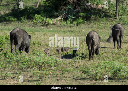 Sri Lanka, Tissamaharama, Yala National Park aka Ruhuna National Park, Section 1. Wild boar with piglets (WILD: - Stock Photo