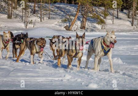 Husky sled dogs, Lapland, Sweden - Stock Photo