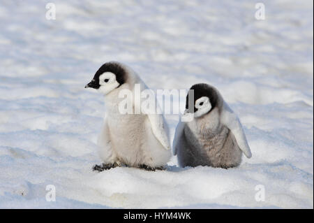 Emperor Penguin chicks in Antarctica - Stock Photo