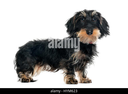 Daschund standing and looking at the camera, 1 year old, isolated on white - Stock Photo