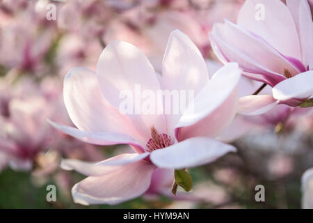 Part of pink and white magnolia tree - Stock Photo