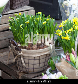 the Daffodils in a wicker basket - Stock Photo