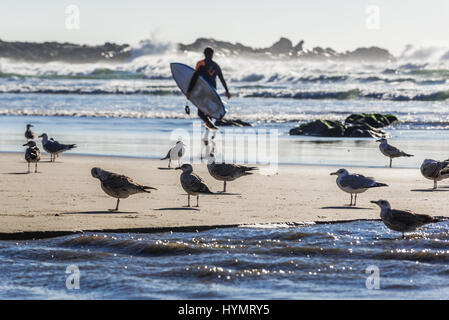 Flock of seagulls and man with surfing board on the beach of Nevogilde civil parish of Porto city, Portugal - Stock Photo