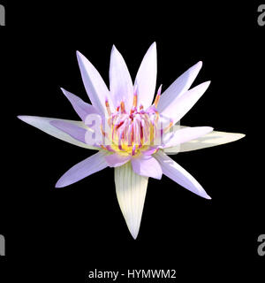 Isolated closed up Lotus flower on black background - Stock Photo