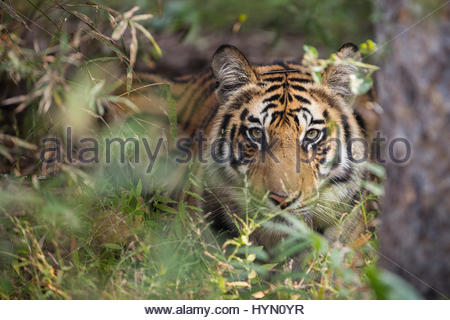 A year-old Bengal tiger, Panthera tigris tigris, hiding in the brush of Bandhavgarh National Park. - Stock Photo