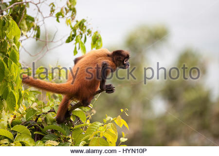 A spider monkey, Ateles geoffroyi, perched in a tree. - Stock Photo