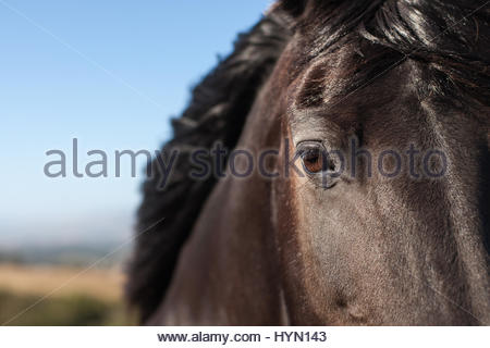 A detail of the eye and head of a mare Friesian horse. - Stock Photo