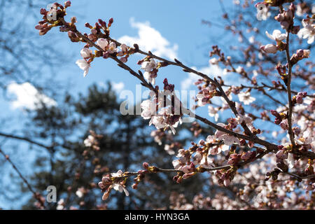 Yoshino Cherry Blossoms in Central Park, NYC - Stock Photo