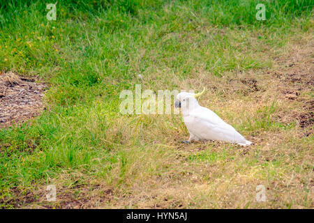 White australian cockatoo sitting on grass in park - Stock Photo