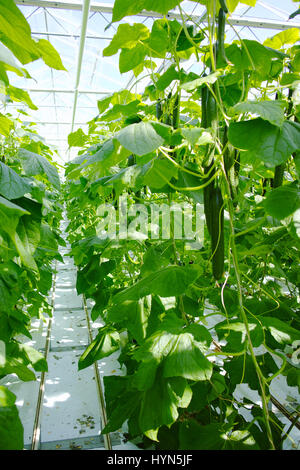 Tasty organic green cucumbers plants growth in big Dutch greenhouse, everyday harvest - Stock Photo