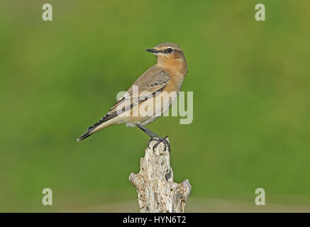 Northern Wheatear (Oenanthe oenanthe) first autumn perched on post   Eccles-on-sea, Norfolk     October - Stock Photo