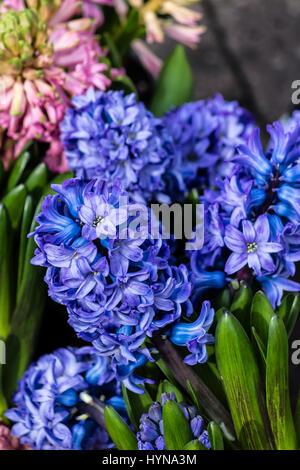 Blue hyacinths (Hyacinthus orientalis) - Stock Photo