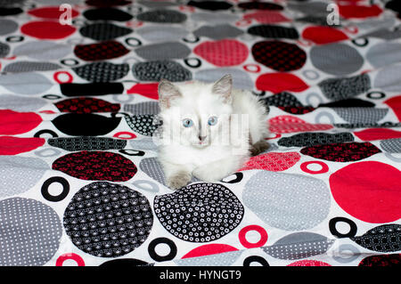 white kitten with blue eyes lying on a bed, a subject beautiful kittens - Stock Photo