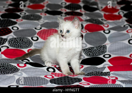 white kitten with blue eyes on a bed, a subject beautiful kittens - Stock Photo