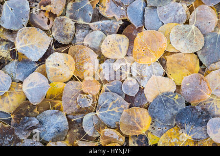 Several aspen leaves lie on top of one-another. The top layer has gathered frost from the cold night near Aspen, - Stock Photo