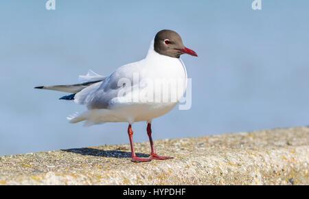 Adult Black Headed Gull (Chroicocephalus ridibundus) in breeding plumage in Spring sitting on a wall. - Stock Photo