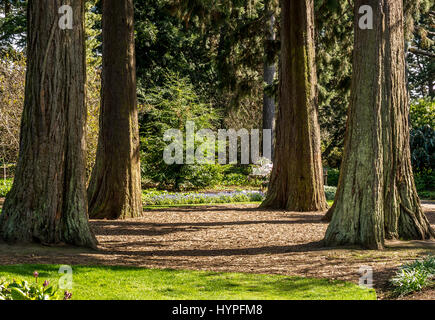 Peaceful sunlit giant sequoia redwood grove in Royal Botanic Gardens, in memory of environmentalist John Muir, Edinburgh, Scotland, UK