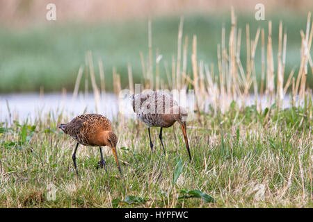 Two black-tailed godwits (Limosa limosa) foraging in meadow in spring - Stock Photo