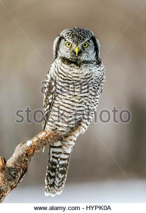 A wildlife shot of a True Owl perching on a tree trunk - Stock Photo