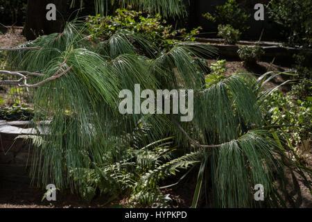 Bhutan pine, Pinus wallichiana, Pinaceae, Bhutan, Himalaya, Asia - Stock Photo