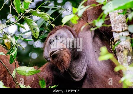Close up of a male flange Orangutan - Stock Photo
