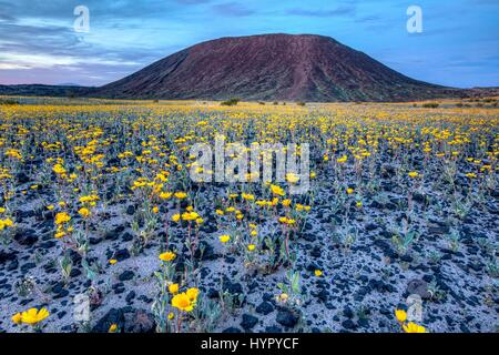 Wild flowers carpet the desert at the Amboy Crater in the Mojave Trails National Monument March 15, 2017 near Amboy, - Stock Photo