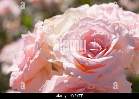Floribunda pink Rose, Romantica Rose 'Johann Strauss'. Hybrid tea - Stock Photo