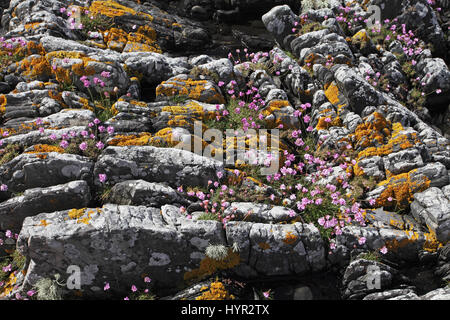 Thrift Armeria maritima growing in cracks in coastal lichen covered rocks - Stock Photo