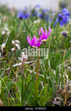 Few-flowered shooting-star Dodecatheon pulchellum in wild flower meadow in early morning light Bear Tooth Pass Wyoming - Stock Photo