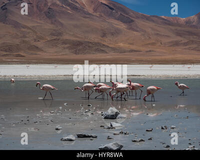 A group of pink flamingos in Laguna Cañapa, these birds are a very common sight in the endorheic salt lake in the - Stock Photo