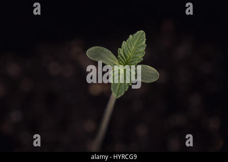 Macro detail of cannabis sprout (sour diesel marijuana strain) with a seed shell attached to a leaf, isolated over - Stock Photo