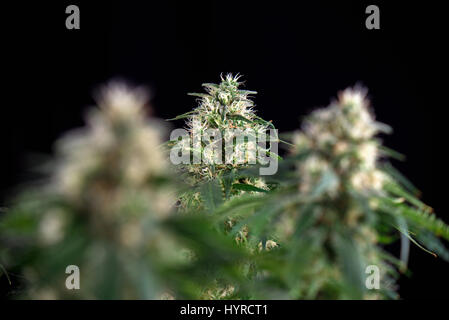Detail of cannabis cola (Green crack marijuana strain) with visible hairs and leaves on late flowering stage - Stock Photo