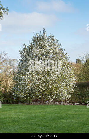 Magnolia salicifolia 'Wada's Memory'. Willow-leaved magnolia 'Wada's Memory' tree in flower along a path at RHS - Stock Photo