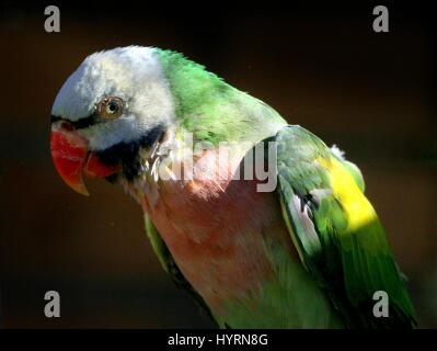 Male Southeast Asian Red Breasted or Banded Parakeet (Psittacula alexandri), a.k.a. Bearded, Moustached or Rose - Stock Photo