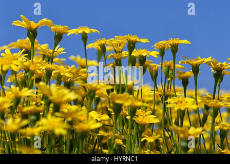 Yellow dandelions on blue sky background - Stock Photo