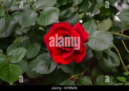 winding garden rose with red velvet flower and green leaves - Stock Photo