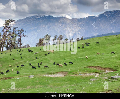 Sheeps herd on gentle slope in Himalayas - Stock Photo