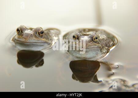 European common frogs (rana temporaria) chorusing in an urban garden pond during breeding (spawning) season,, England - Stock Photo