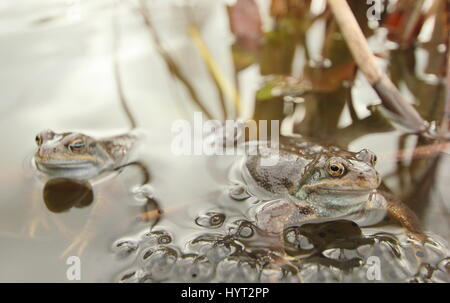European common frogs (rana temporaria) spawning in an urban garden pond, Derbyshire, England - March - Stock Photo