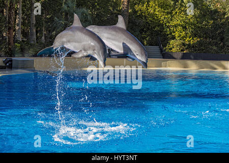 Two Dolphins jumping in formation out of an outdoor pool - Stock Photo