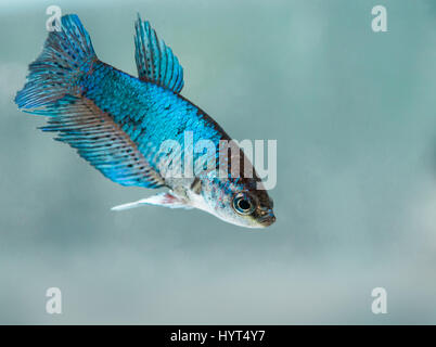 Young female Half-Moon Betta Splendens fish - Stock Photo
