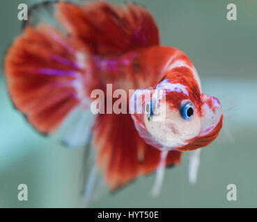 Flaring Koi male HMPK Betta Splendens - Stock Photo