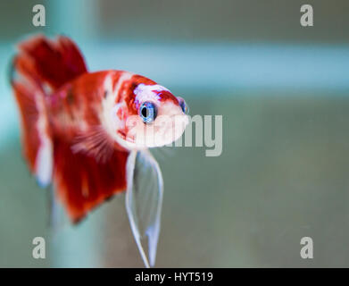 Koi male HMPK Betta Splendens - Stock Photo