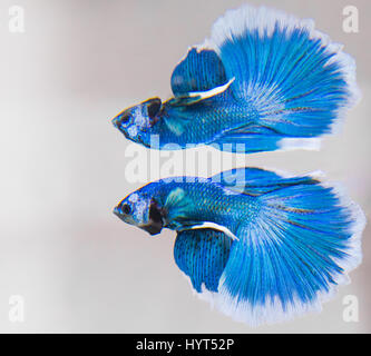 Betta Splendens male fish reflation - Stock Photo