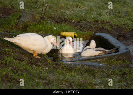 Domestic Muscovy ducks (white & grey with red caruncles above beaks & round eyes) swim in a small, stone water trough - Stock Photo