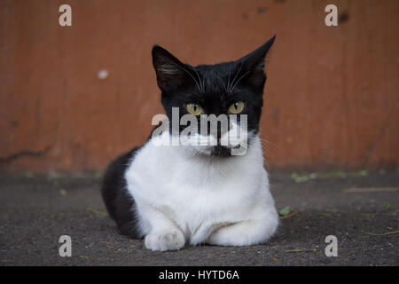 Black and white cat laying down in a street, looking a the camera  Picture of a black and white stray cat taken - Stock Photo