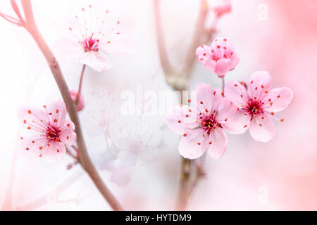 Close-up, creative image of the delicate pink spring blossom of the Black Cherry Plum Tree also known as Prunus - Stock Photo