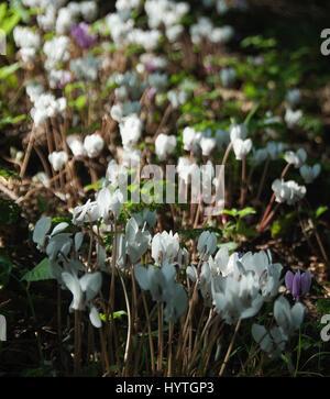 ivy-leaved cyclamen Cyclamen hederifolium - Stock Photo