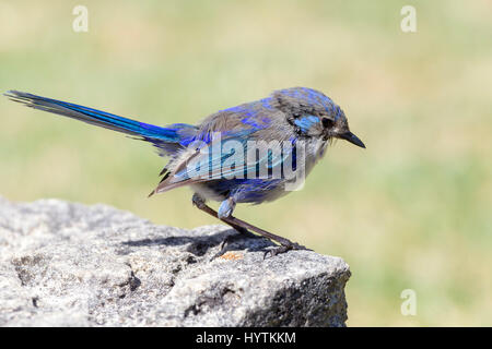 Splendid Fairy Wren. Malurus splendens. Male lossing its breeding plumage, Margaret  River area, South Western Australia. - Stock Photo