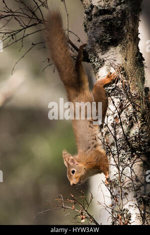 Red Squirrel (Sciurus vulgaris) - Stock Photo